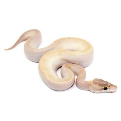 """Python regius """"Ivory"""" - Python royal"""