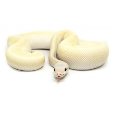 "Python regius ""Super Mojave"" - Python royal"