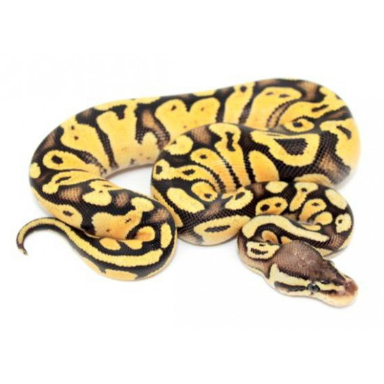 """Python regius """"Firefly sunrise"""" - Python royal"""