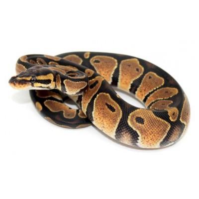 "Python regius ""Sunrise"" - Python royal"