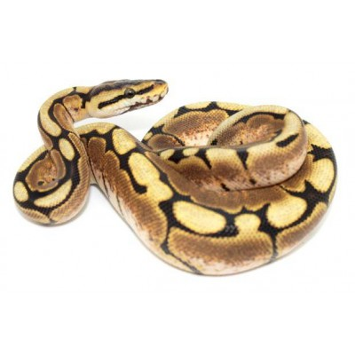 "Python regius ""Spider Yellow belly"" - Python royal"