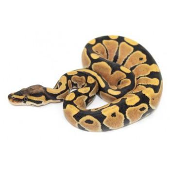 "Python regius ""Desert Ghost"" - Python royal"