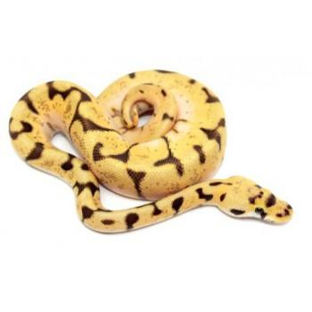 "Python regius ""Bumblebee Enchi"" - Python royal"