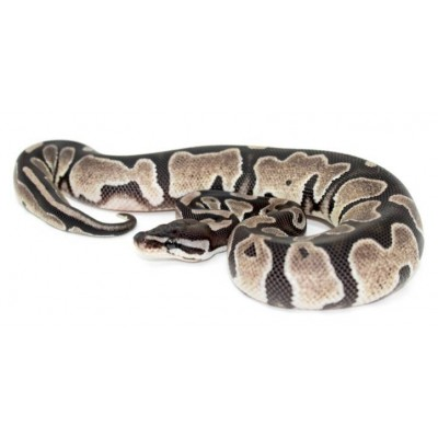 "Python regius ""Axanthic"" - Python royal"