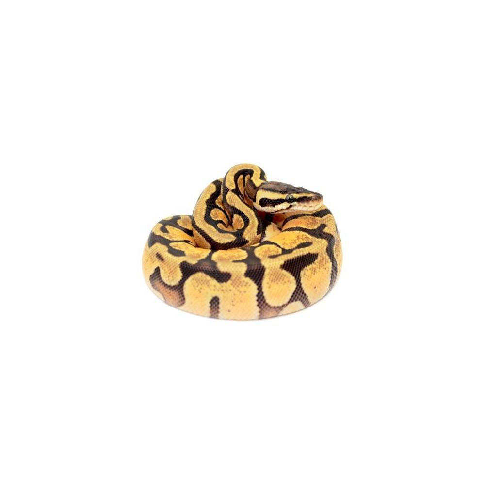 """Python regius """"Pastel Enchi"""" - Python royal"""