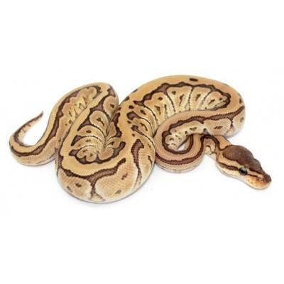 "Python regius ""Jigsaw"" - Python royal"