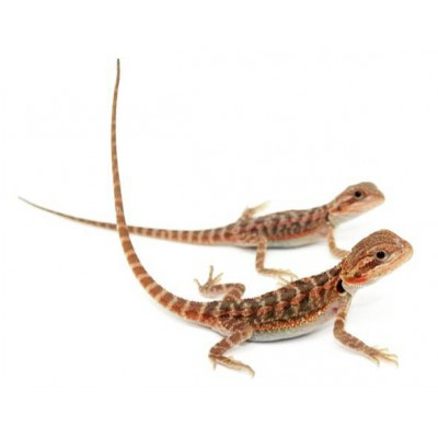 "Pogona vitticeps ""Red"" - Agame barbu"