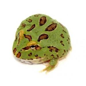 "Ceratophrys cranwelli "" 4 spot"" - Grenouille Pacman"
