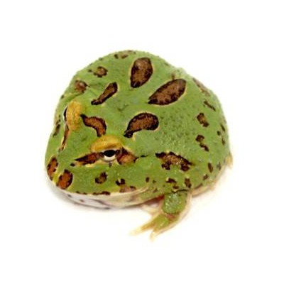 "Ceratophrys cranwelli "" 4 spot"" - Grenouille Pacman"