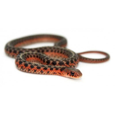 "Thamnophis sirtalis ""Flame"" - Serpent jarretière"