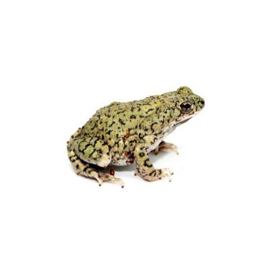 Anaxyrus (Bufo) debilis - Crapaud vert du Texas