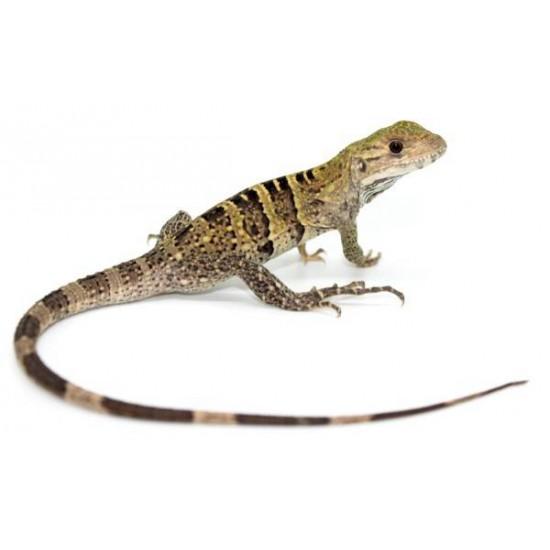 Ctenosaura similis - Iguane noir