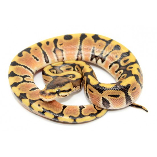 "Python regius ""Hidden gene woma Granite"" - Python royal"