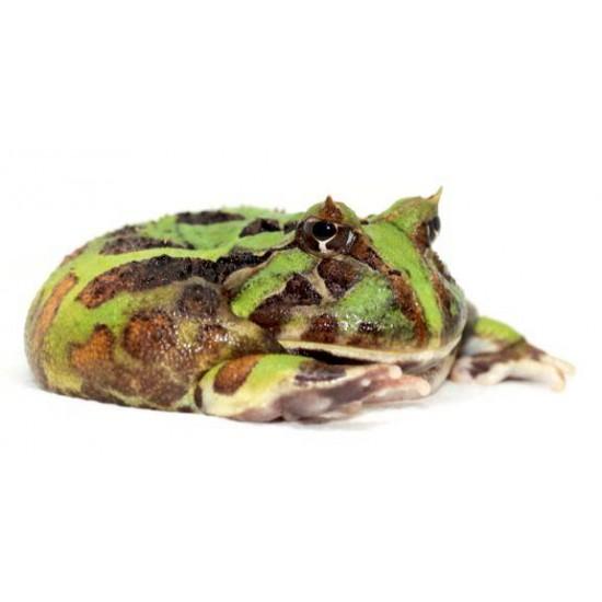 Ceratophrys aurita - Grenouille cornue du Bresil