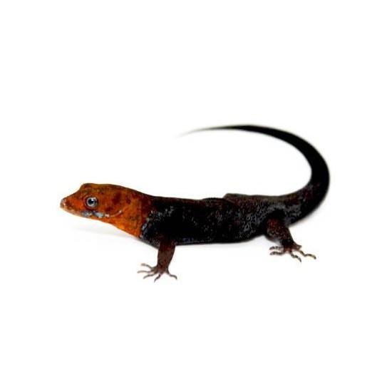 (COUPLE NC) Gonatodes albogularis fuscus - Gecko à tête jaune