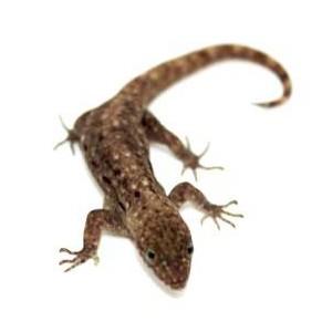 Gonatodes albogularis fuscus - Gecko à tête jaune (COUPLE)