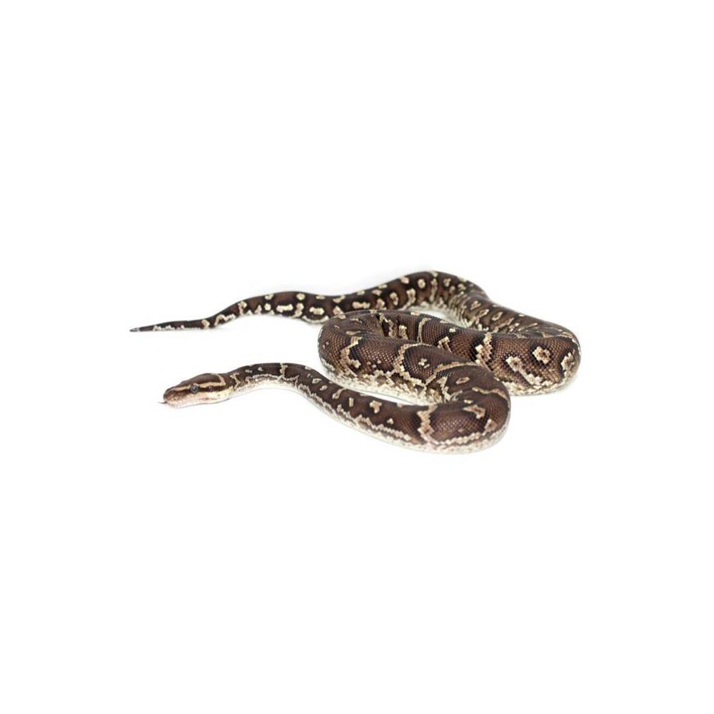 Python anchietae - Python d'Angola