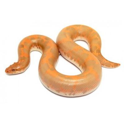 "Eryx (Gongylophis) colubrinus ""Albinos"" - Boa des sables du Kenya"
