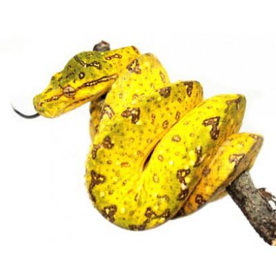 "Morelia viridis ""Biak"" - Python vert"