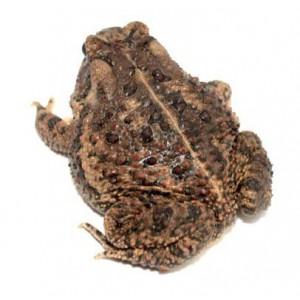 Anaxyrus (Bufo) terrestris - Crapaud du sud-est des Etas-Unis