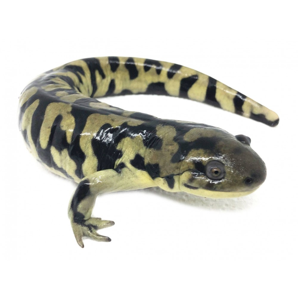 Ambystoma tigrinum - Salamandre tigrée