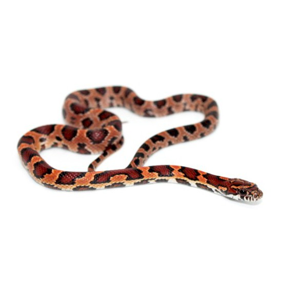 "Pantherophis guttatus ""Okeetee"" - Serpent des blés"