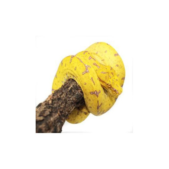 """Morelia viridis """"Misool"""" - Python vert"""