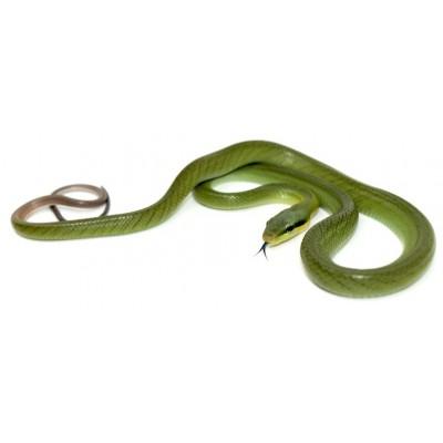 Gonyosoma oxycephalum JUVÉNILE - Serpent ratier à queue rouge