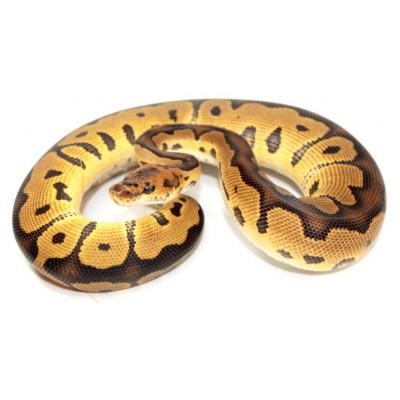 "Python regius ""Clown"" - Python royal"