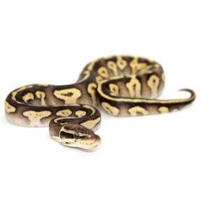 "Python regius ""Pastave Yellow Belly"" - Python royal"