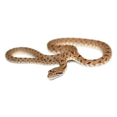 Spalerosophis diadema - Couleuvre à diadème