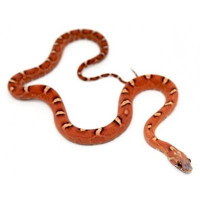"""Pantherophis guttatus """"Hypo scaleless"""" - Serpent des blés"""