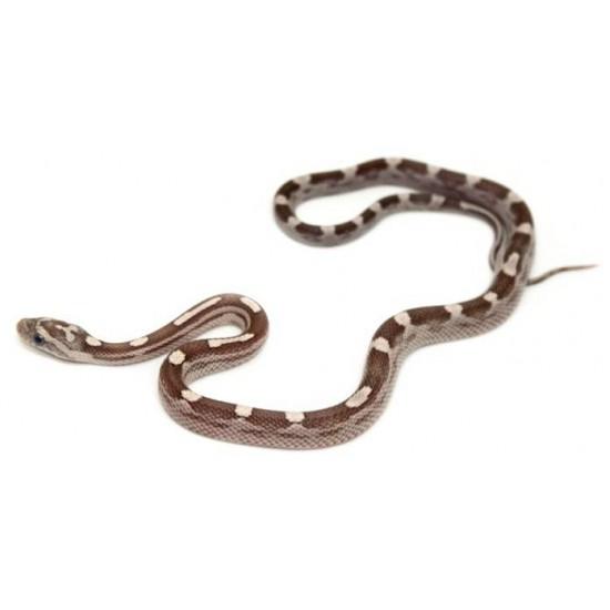 """Pantherophis guttatus """"Ghost Motley"""" - Serpent des blés"""