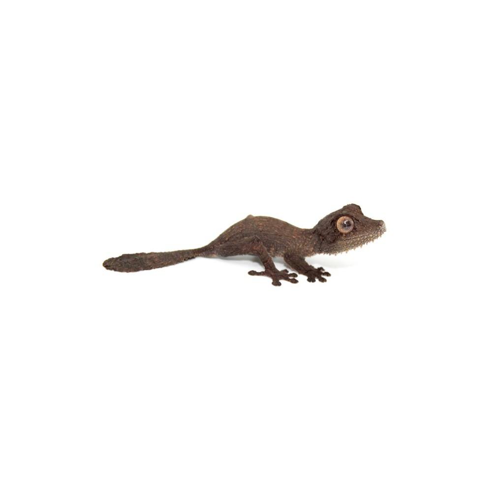 Uroplatus henkeli - Gecko à queue de feuille