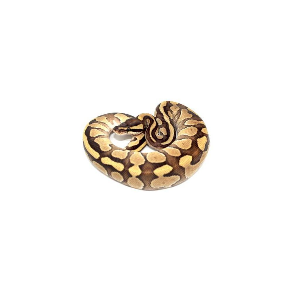 "Python regius ""Phantom enchi"" - Python royal"