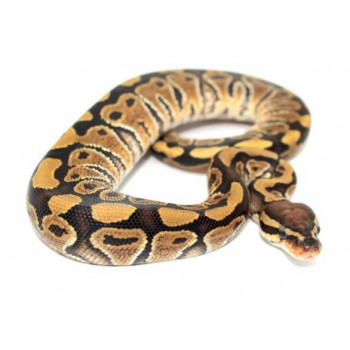 "Python regius ""Vanilla"" - Python regius"
