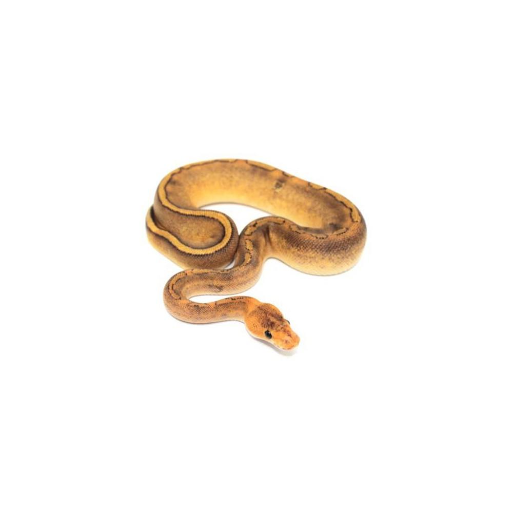 "Python regius ""Champagne gravel"" - Python royal"