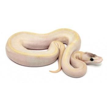 "Python regius ""Champagne pastel"" - Python royal"
