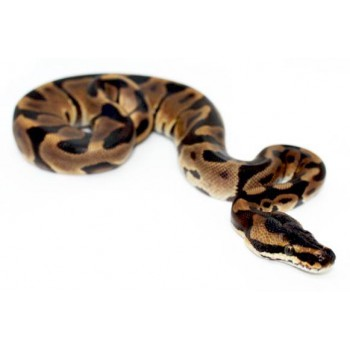 """Python regius """"Leopard enchi"""" - Python royal"""