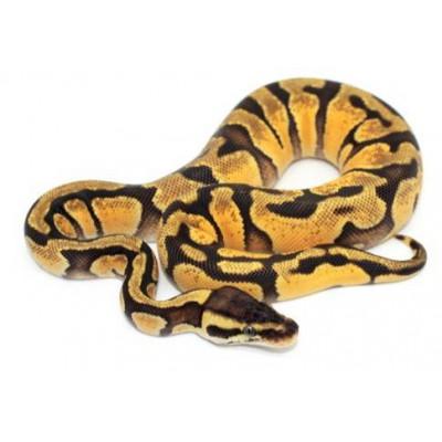 """Python regius """"Enchi pastel"""" - Python royal"""