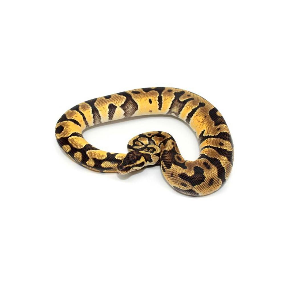 "Python regius ""Orange dream enchi"" - Python royal"