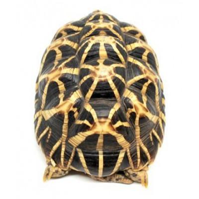 Geochelone elegans - Tortue étoilée d'Inde