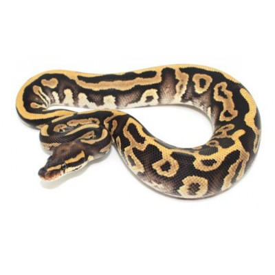 "Python regius ""Leopard phantom enchi"" - Python royal"