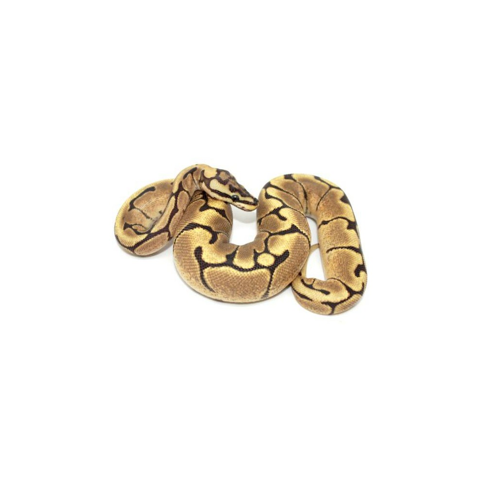 "Python regius ""Fire spider"" - Python royal"
