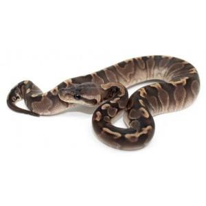"Python regius ""GHI cinamon"" - Python royal"