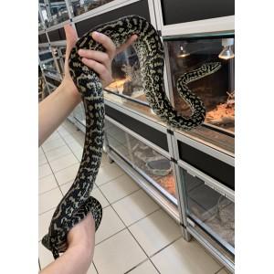 """Morelia spilota spp """"Zebra caramel"""" - Python tapis"""
