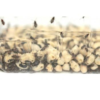 Bruche du haricot - Callosobruchus maculatus