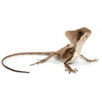 Corytophanes hernandesii - Iguane casqué d'Hernandez