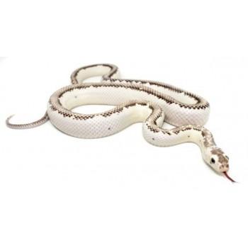 "Pantherophis obsoletus ""Licorice"" - Serpent ratier"