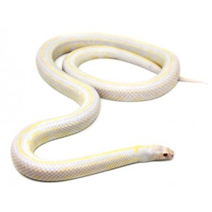 "Lampropeltis getulus californiae ""Albinos stripe"" - Serpent roi de Californie"